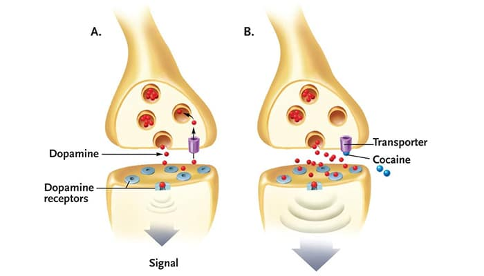 Cocaine causes dopamine buildup in the synapse