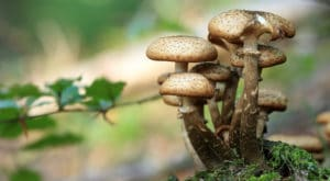 Wild spore mushrooms